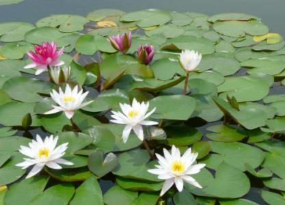 水生花卉的栽培